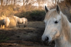 Cavalli Camargue, Isola della Cona, foto di Lorenzo Zanolla